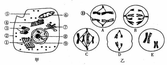 动物细胞亚显微结构模式图,图乙是该种生物雄性个体中的细胞分裂示意