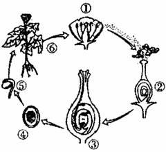 若下图是被子植物番茄花的部分结构示意图.请