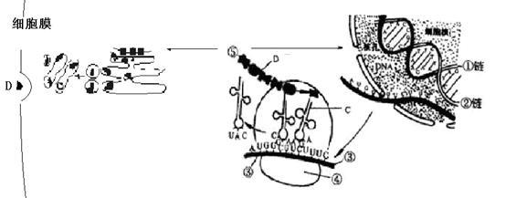 下列是细胞内蛋白质合成的示意图.请回答: (1)在结构a