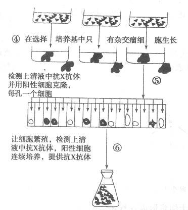 (1)制备单克隆抗体的步骤