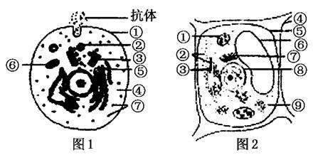 用含 18o标记的丙氨酸的培养液体外培养图1所示细胞,该细胞内合成抗体