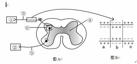 图a表示反射弧和脊髓结构图,图b表示神经纤维局部放大膜内外电荷的