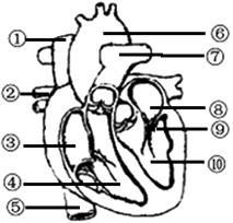生物人体结构_下图是人体心脏结构模式图. 据图回答