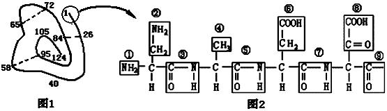 下面是某蛋白质的肽链结构示意图(图1,其中数字为氨基酸序号)及部分肽