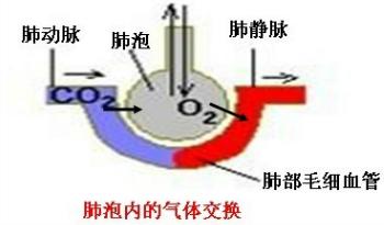 间的气体交换.箭头A是指 血流动的方向.B指 气体扩散的方向.C指 气