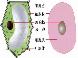 而制作人口腔上皮_制作人的口腔上皮细胞