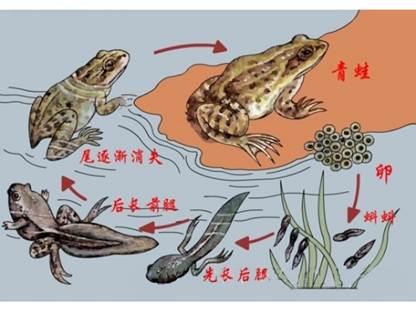 考点: 两栖动物的特征