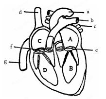 右图为心脏结构图,据图回答:?图片