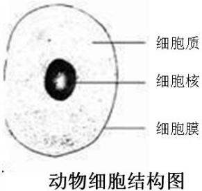 细胞膜以内,细胞核以外的结构叫做( )