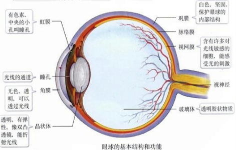 白色,坚韧,保护眼球内部结构的是图中( )