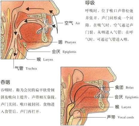 解:呼吸道包括鼻腔,咽,喉,气管,支气管,消化道包括口腔,咽,食道,胃