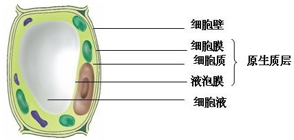 高中生物 题目详情  分析 1,当细胞液的浓度大于外界溶液的浓度时