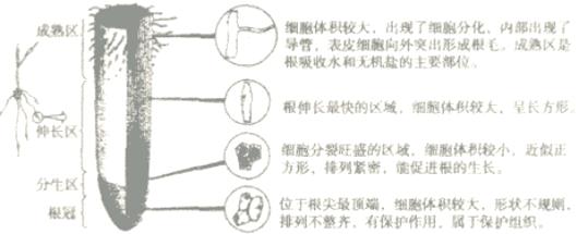 解答 解:根尖是指从根的顶端到生有根毛的一段.它的结构从顶端依次是根冠、分生区、伸长区、成熟区. 根冠位于根的顶端,属于保护组织,像一顶帽子似地套在外面,具有保护分生区.分生区被根冠包围着,属于分生组织,具有很强的分裂能力,能够不断分裂产生新细胞. 伸长区在分生区上部,细胞逐渐停止分裂,开始迅速伸长,是根伸长最快的地方.成熟区也叫根毛区;在伸长区的上部,细胞停止伸长,并且开始分化,表皮一部分向外突起形成根毛.根吸收水分和无机盐的主要部位.成熟区及其上部,根内部分化形成导管,能输导水分和无机盐.所以区分出