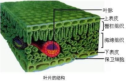 蚕豆叶下表皮的结构如图