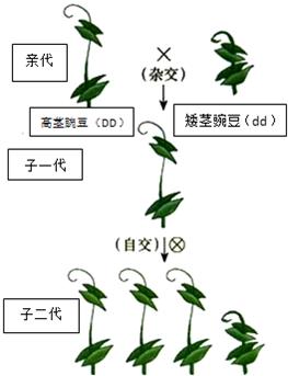 初中生物 题目详情  孟德尔的豌豆杂交实验是经典的遗传学实验.