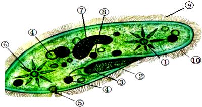 草履虫的结构如图,据图回答问题.