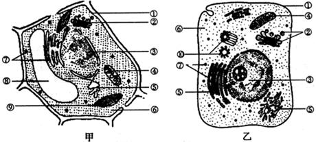 (2)⑦结构上可合成的物质是蛋白质,③内核仁结构被破坏,这种物质的