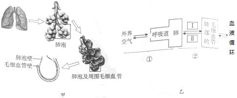 甲图为人体肺部结构示意图,乙图表示外界空气进入血液循环的过程,请据