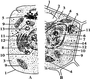 12.如图表示动物,植物细胞二合一亚显微结构模式图.根据图回答