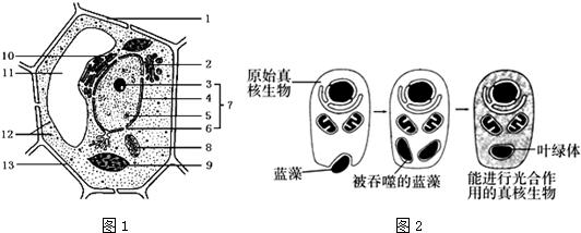 ,需要经过2层线粒体膜、一层细胞膜、1层相邻细胞的膜、2层叶绿体膜,共6层膜才能进入相邻细胞中叶绿体的基质中. (5)具有双层膜的结构是:4核膜、8线粒体、9叶绿体.吞噬细胞摄取抗原的过程体现了细胞膜的流动性. (6)7是原生质层,其功能是选择透过性. (7)据题干信息可知,叶绿体来源于原核生物,故其内有核糖体,由于线粒体是有氧呼吸的主要场所,故具有线粒体的该种细菌的呼吸作用类型是有氧呼吸. 故答案为: (1)2 高尔基体 (2)中心体 (3)11 液泡 (4)6 叶绿体 (5)4、8、9 具有一定的流动