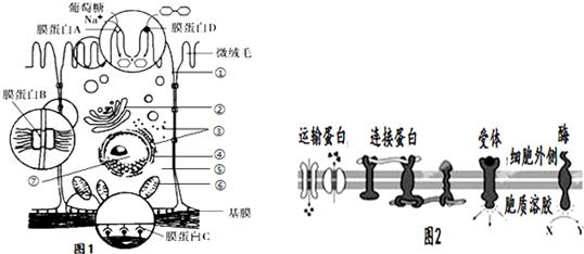 1.如图为小肠上皮细胞亚显微结构示意图,请据图回答下列问题