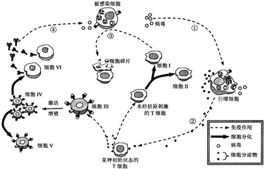 (1)人体免疫系统由免疫器官、免疫细胞和免疫活性物质组成.图中表示