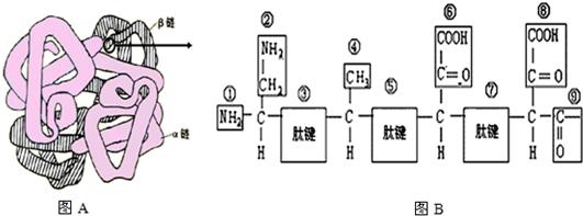 (或-CO-NH-). (2)图B所示的一段肽链片段是由3种氨基酸脱水缩合而成,脱去水分子中的氢来自氨基和羧基(填氨基羧基或氨基和羧基). (3)据两图可知一条肽链至少含有3个羧基,若两条肽链完全相同,则一个血红蛋白分子至少含有8个羧基. (4)血红蛋白分子是由574个氨基酸组成,20种氨基酸的平均分子质量为128,则血红蛋白的分子质量为63212.