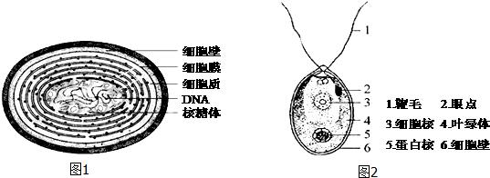 1.如图分别是蓝藻(图1)和衣藻(图2)的结构模式图.请据图回答