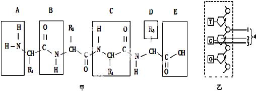 5.如图甲为某多肽结构式,乙为某核苷酸链的示意图.