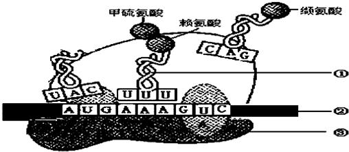 高中生物 题目详情  (1)该图表示遗传信息的翻译过程,发生的主要场所图片