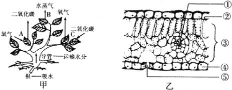 图甲表示植物的三种生理活动,图乙表示植物叶片结构,请据图回答下列