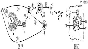 图甲中所示的是体液免疫过程,图甲中c是B淋巴细胞.-下列生命系统