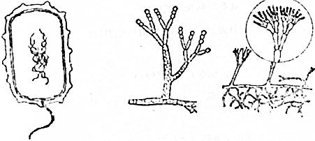 初中生物 题目详情  (1)一个细菌也是一个细胞,与真菌的细胞相比,细菌