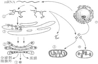 (2)写出下列细胞结构的名称①核糖体②内质网③高尔基体⑥叶绿体⑦图片