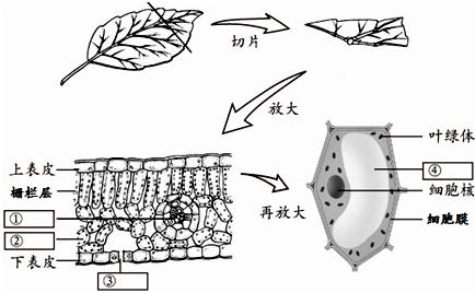 初中生物 题目详情  (1)在制作叶片横切面临时装片时,要多切几次片