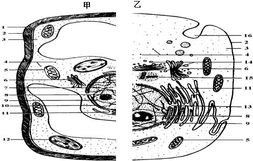 17, 下图甲,乙分别表示高等植物细胞和高等动物细胞的亚显微结构,请据