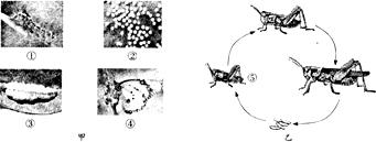 图甲是蝴蝶的发育过程,图乙是蝗虫的发育过程,请据图回答下列问题图片