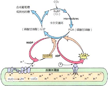 如图表示某种绿色植物叶肉细胞中存在的部分化学反应过程,请回答相关