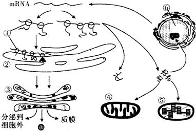 """图以及④⑤的结构功能分析为什么说线粒体和叶绿体是""""半自主""""的细胞器"""