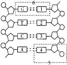 如图为大肠杆菌DNA分子的结构示意图.请据图用文字作答. 1 图中 1 的名称为胞嘧啶. 5 表示胸腺嘧啶. 2 DNA分子中碱基对之间通过氢键连接起来的.它们的配对方式遵循碱基互补配对