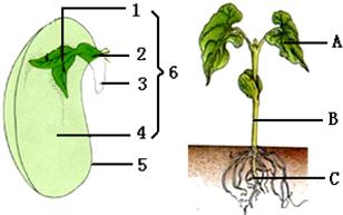 种子_13.如图是菜豆种子和幼苗模式图,请回答