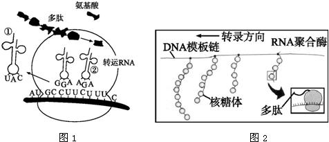 18.图1是基因指导多肽合成的过程,图2为某细胞转录和翻译的示意图.图片