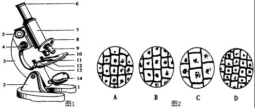 (1)如果8上安置的两个物镜标有40和10,目镜6标有10,那么根据图中物镜的安放状态,所观察到物像的长度(填长度、面积或体积)是物体的100倍.若此时观察到视野中有16个细胞,则转动8转换器 (填名称),换上另一物镜后,视野中有细胞1个. (2)某同学在实验时,先用一块洁净的纱布擦拭镜头,再在一干净的载玻片中央滴一滴清水,放入一小块植物组织切片,小心展平后,放在显微镜载物台正中央,并用压片夹压住,然后在双眼侧视下,将物镜降至距离玻片标本2~3mm处停止.用左眼注视目镜视野,同时转动