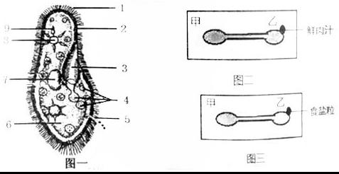 如图二,在乙侧培养液的边缘滴一滴新鲜肉汁后,用放大镜观察,草履虫的