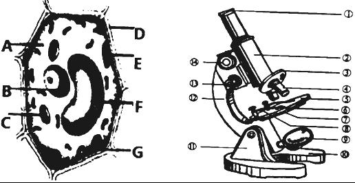 14.如图是显微镜和某种细胞结构生物模式图,请据图压岁言初中生回答图片