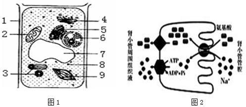 如图l是植物细胞亚显微结构示意图,图2为氨基酸和na 进出肾小管上皮