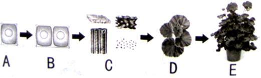 (1)天竺葵由小长大的过程与细胞分裂生长和分化密切相关; (2)细胞从图A到图B过程中,高倍显微镜下可以看到细胞内最重要的变化是染色体;数量先加倍,后平均分配到两个细胞中,从而确保了亲子代细胞内所含的遗传物质一样多; (3)BC的过程叫做细胞的分化,所形成图C所示的四种结构在结构层次上叫做组织;图D所示的植物叶在结构层次上叫做器官; (4)在阳光明媚的中午,天竺葵绿叶发生的主要生理作用有光合作用、蒸腾作用、呼吸作用.