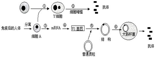 4.如图是生物学技术制备抗体的两个途径模式简图.