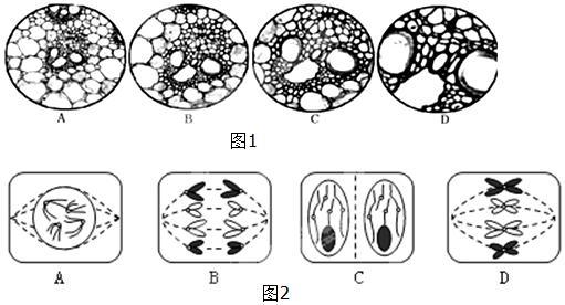 进行观察洋葱根尖分生组织细胞有丝分裂的实验,下列关于该实验的叙述