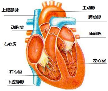 标出心脏结构名称.把名称写在横线上 题目和参